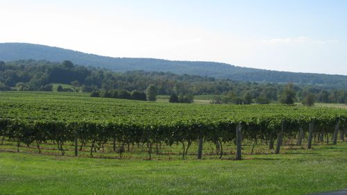 Loudoun County Vineyard